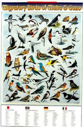 Migratory Birds of Malta